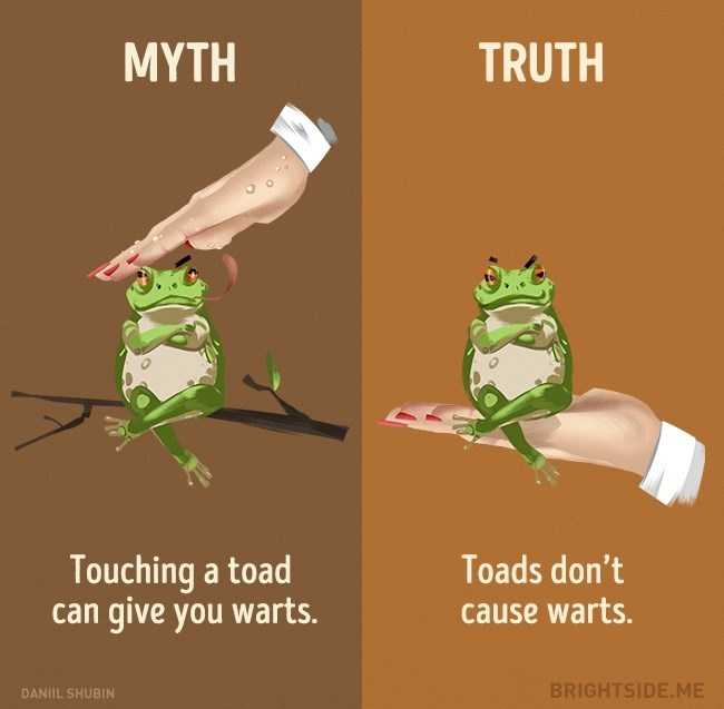 Myth of toads causing warts, when in truth they DO NOT cause any warts.