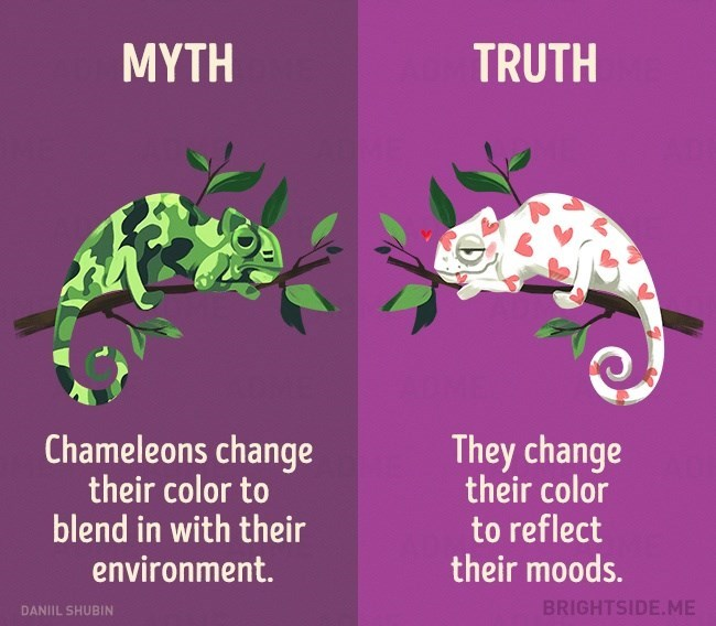 Myth of Chameleons changing their color to blend in with their environment VS the truth which is they do it to reflect their mood.