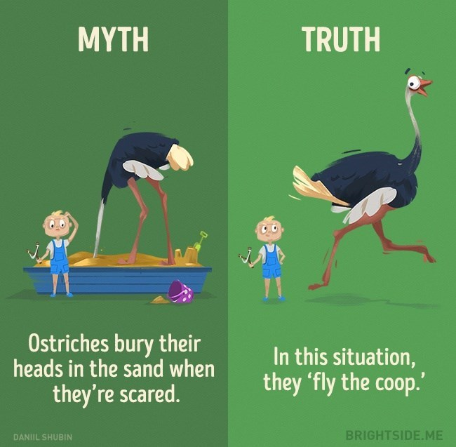 Myth that Ostriches bury their head in the sand, when in truth they run away when scared.
