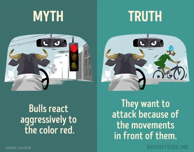 Myth that bulls react to the color red - truth is they want to attack because of the movements before them.