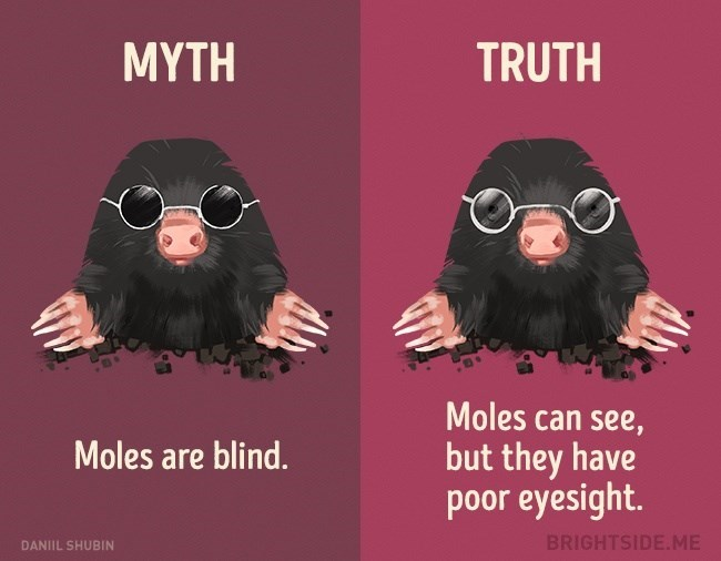 Myth that moles are blind while in truth they just have really bad eye sight.