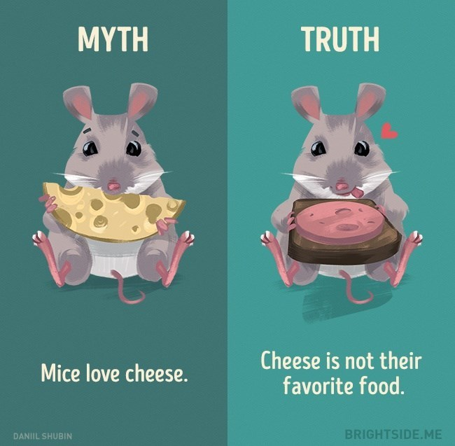 Myth that mice love cheese, when in truth it is not their favorite food at all.