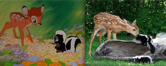 Real life Bambi and Flower meeting - deer smelling a skunk
