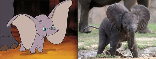 Dumbo and a real life elephant with huge ears.