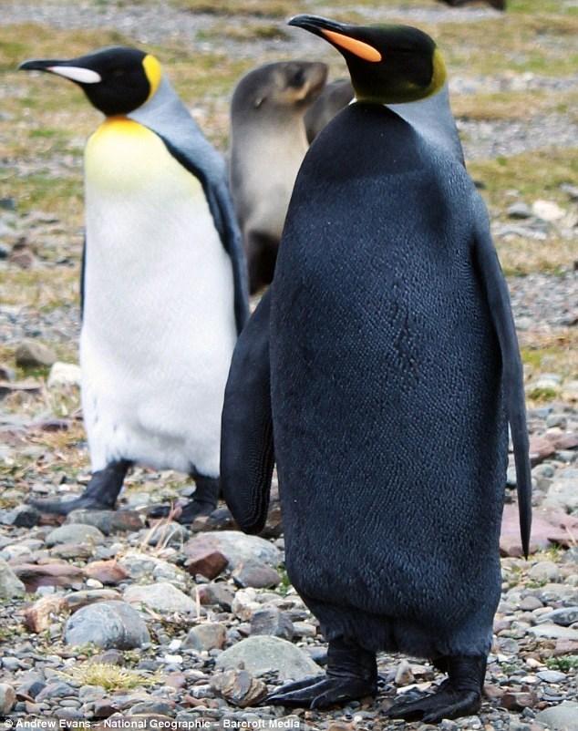 Penguin - Andrew Evans National Geographie Barcroft Media