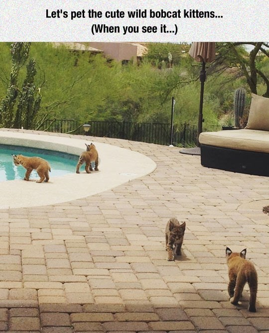 A picture with 4 adorable baby bobcats playing by the pool, and a mother bobcat hiding.