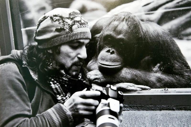 nature photographer - Common chimpanzee