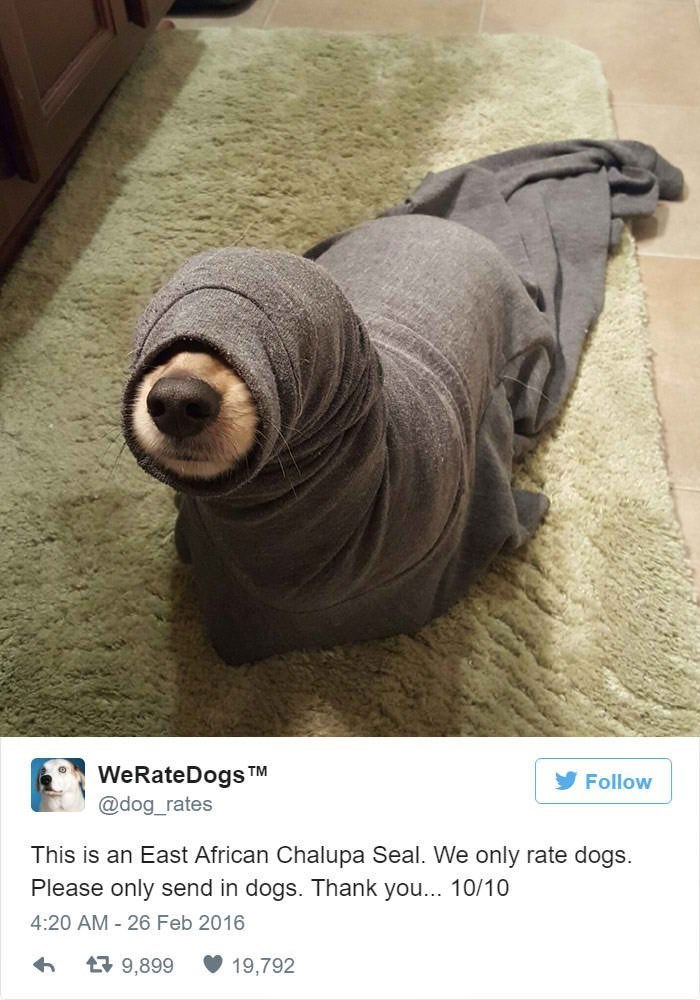 Organism - WeRateDogs TM Follow @dog_rates This is an East African Chalupa Seal. We only rate dogs. Please only send in dogs. Thank you... 10/10 4:20 AM 26 Feb 2016 9,899 19,792