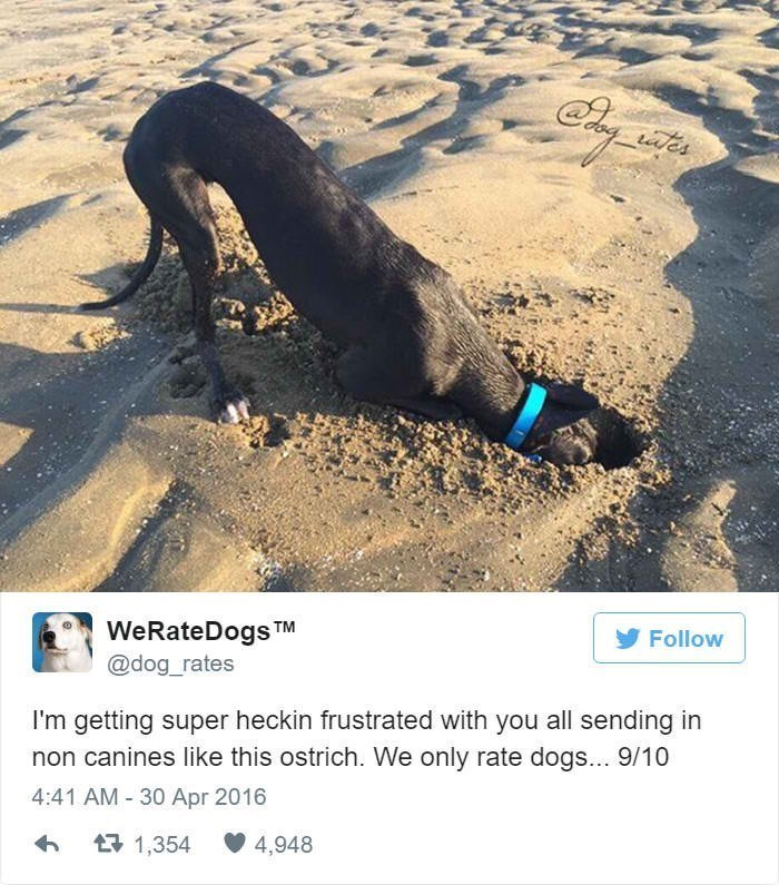 Adaptation - ates WeRateDogs TM @dog_rates Follow I'm getting super heckin frustrated with you all sending in non canines like this ostrich. We only rate dogs... 9/10 4:41 AM 30 Apr 2016 4,948 1,354