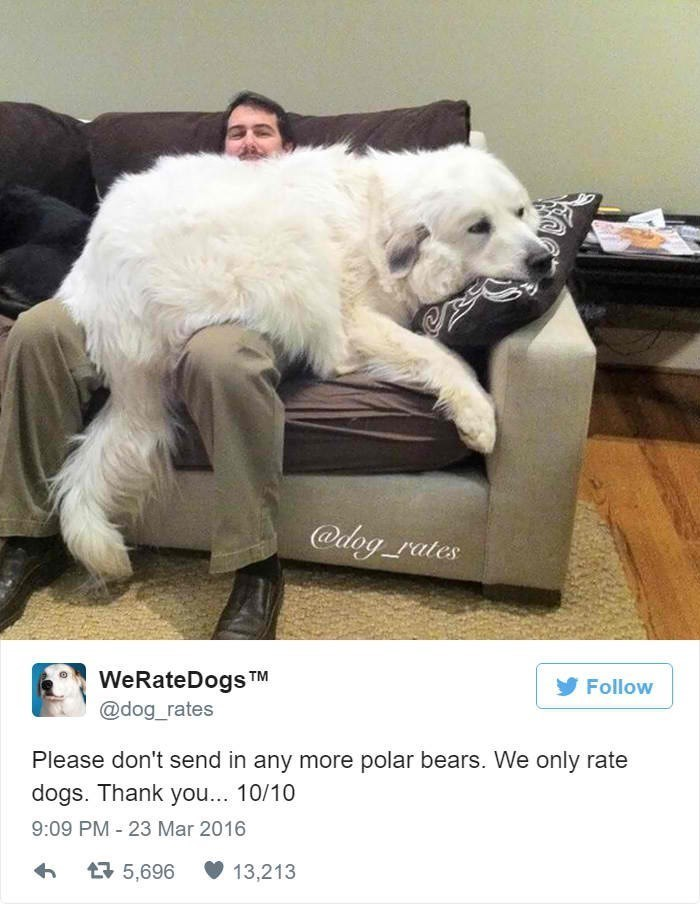 Dog - @dog rates WeRateDogs TM @dog_rates Follow Please don't send in any more polar bears. We only rate dogs. Thank you... 10/10 9:09 PM 23 Mar 2016 母5,696 13,213