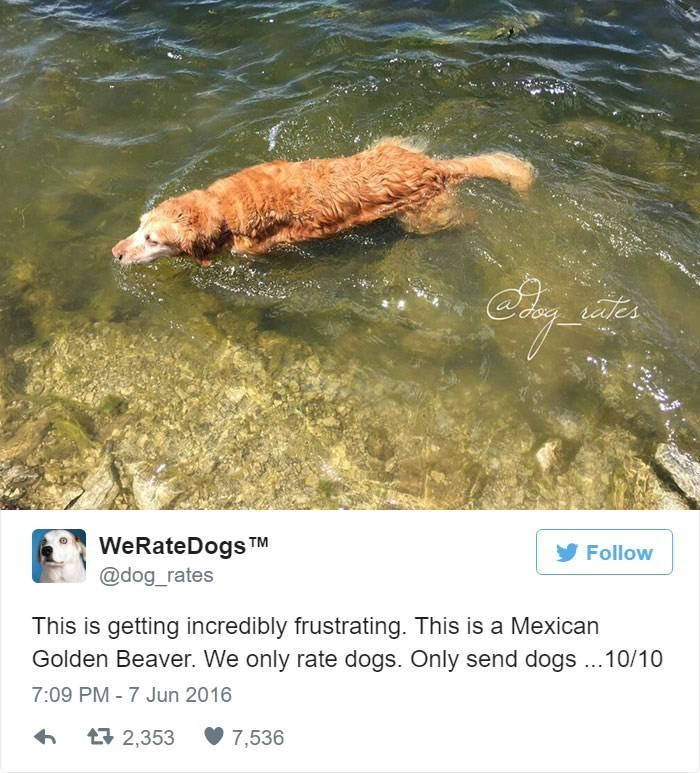 Water - ales WeRateDogs TM @dog_rates Follow This is getting incredibly frustrating. This is a Mexican Golden Beaver. We only rate dogs. Only send dogs10/10 7:09 PM - 7 Jun 2016 2 2,353 7,536
