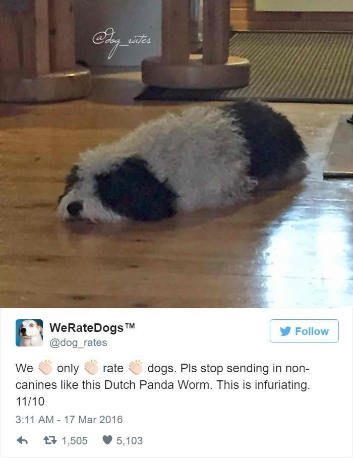 Canidae - iates WeRateDogs TM @dog_rates Follow only We dogs. Pls stop sending in non- rate canines like this Dutch Panda Worm. This is infuriating 11/10 3:11 AM - 17 Mar 2016 7 1,505 5,103