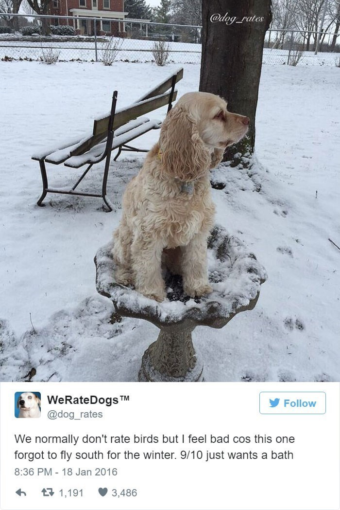 Dog - @dag rates WeRateDogs TM Follow @dog_rates We normally don't rate birds but I feel bad cos this one forgot to fly south for the winter. 9/10 just wants a bath 8:36 PM - 18 Jan 2016 1,191 3,486