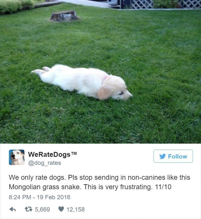 Dog - WeRateDogs TM @dog_rates Follow We only rate dogs. Pls stop sending in non-canines like this Mongolian grass snake. This is very frustrating. 11/10 8:24 PM 19 Feb 2016 5,669 12,158