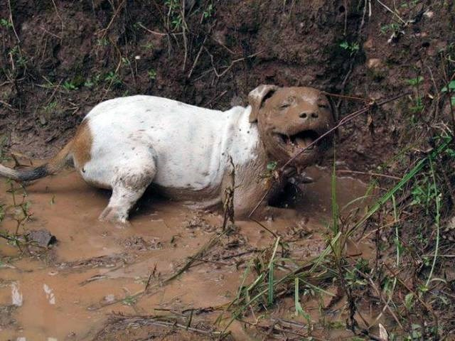 muddy dog - Vertebrate