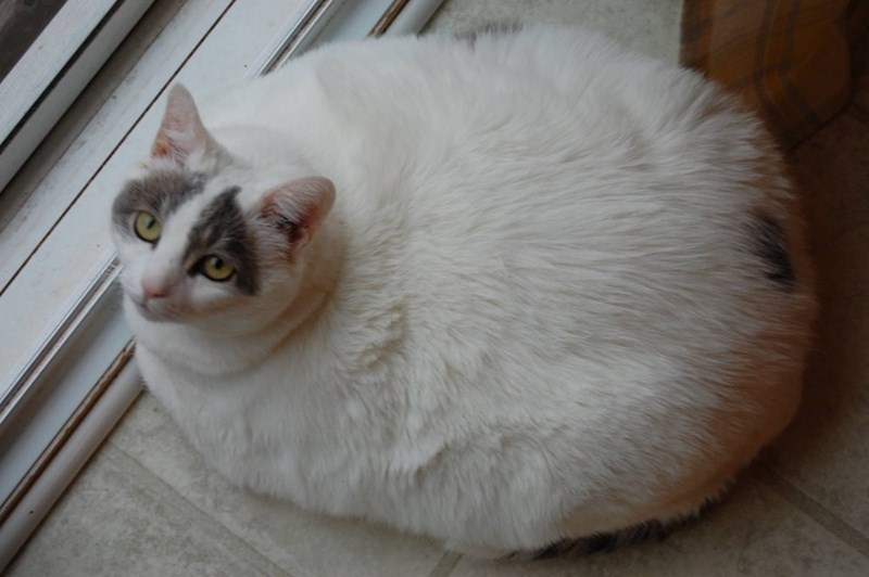 Cat that is fat by the window.