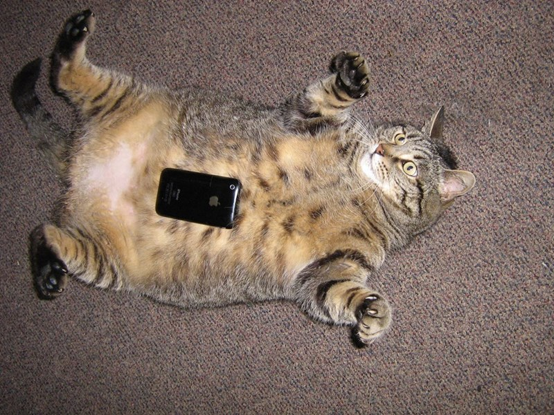 large fat cat with iphone for scale