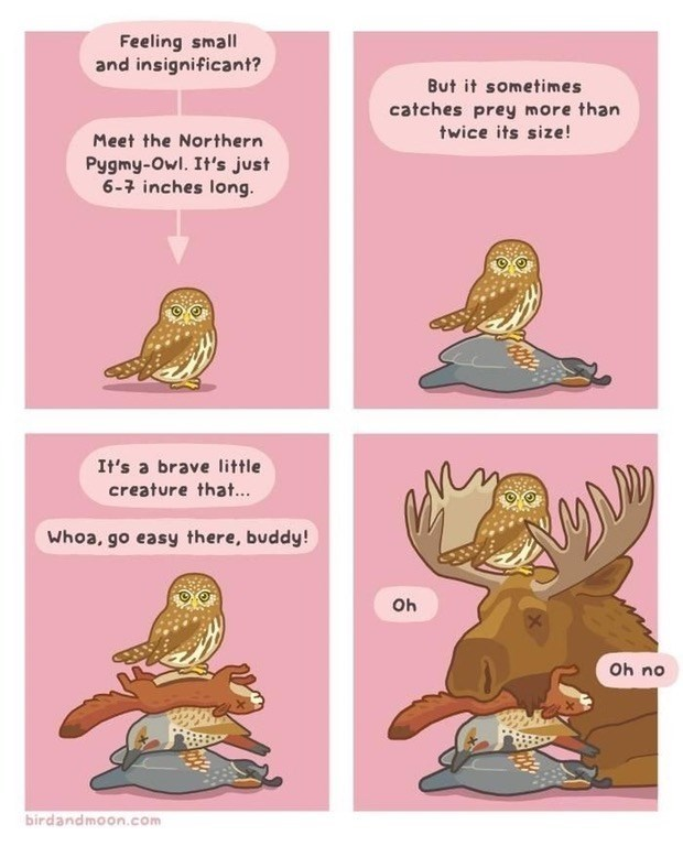Funny web comic about pygmy owls and how they can kill animals that are twice their size.
