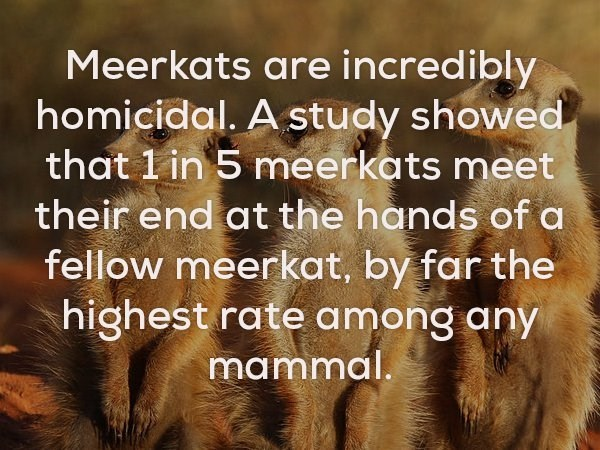 Text - Meerkats are incredibly homicidal. A study showed that 1 in 5 meerkats meet their end at the hands of a fellow meerkat, by far the highest rate among any mammal.