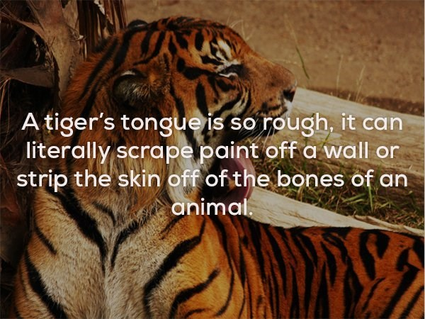 Tiger - A tiger's tongueis so rough, it can literally scrape paint off a wall or strip the skin off of the bones of an animal