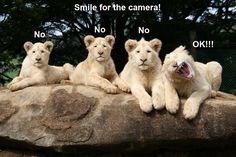 Lion - Smile for the camera! No No No OK!!!