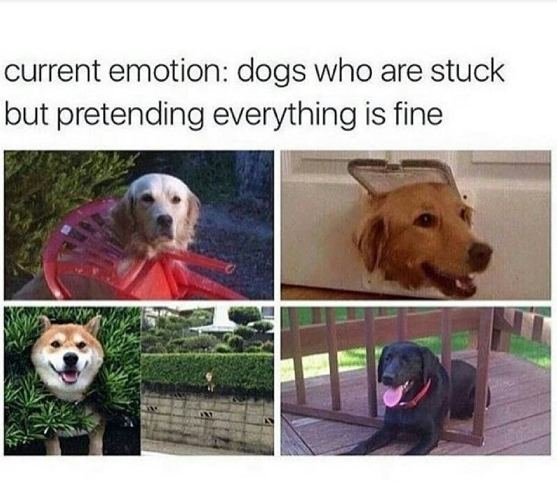 Funny meme that says current emotion is dogs stuck but pretending that nothing is wrong, photos of dogs stuck in weird positions.