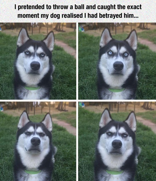 funny meme of dog figuring out that owner never throw the ball