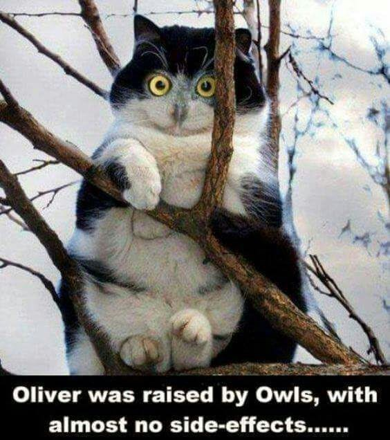 a picture of a cat that looks like an owl