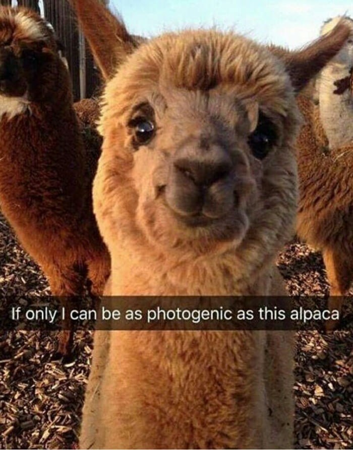 Mammal - If only I can be as photogenic as this alpaca