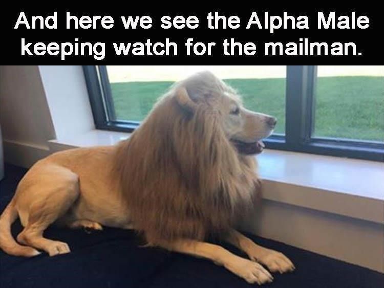 A meme of a dog that looks like a lion looking out the window