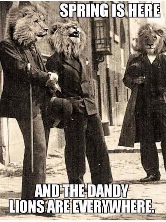 funny punt about dandelions and actual lions