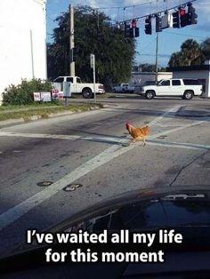 A chicken walking across a road