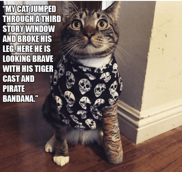 """Cat - """"MY CAT JUMPED THROUGH A THIRD STORY WINDOW AND BROKE HIS LEG. HERE HE IS LOOKING BRAVE WITH HIS TIGER CAST AND PIRATE BANDANA."""""""