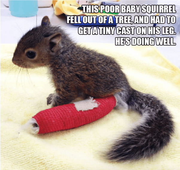 Squirrel - THIS POOR BABY SQUIRREL FELL OUT OFA TREE AND HAD TO GETATINY CAST ON HIS LEG. HES DOING WELL