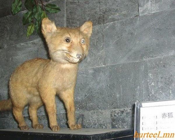 Mammal - 赤狐 arteelmn