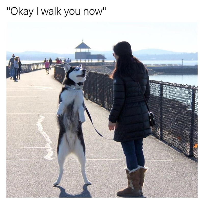 "Funny meme where husky/malamute is standing up with leash, texts says ""okay i walk you now."""