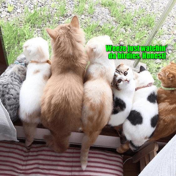Cat - Weeze just watchin dabirdies, Honest!