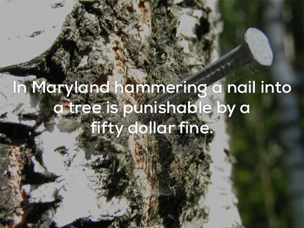 Tree - In Maryland hammering a nail into tree is punishable by a fifty dollar fine.