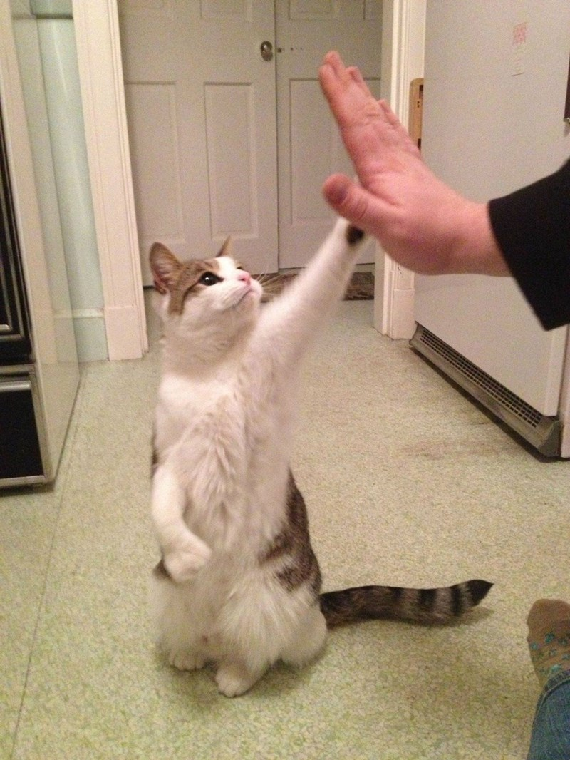cat standing on hind legs and giving a high five to a human