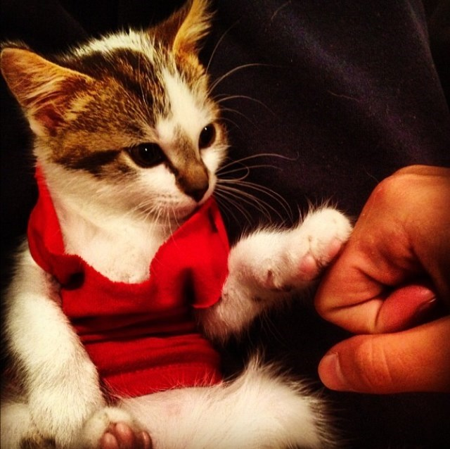 cool cat wearing a red vest gives five to a human requesting a fist bump.