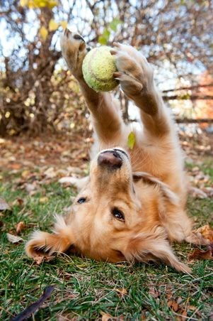 Dog on the grass staring at a tennis ball he is holding in his paws.