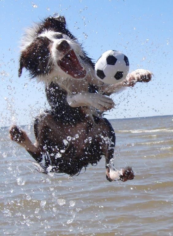 Dog jumping over the water chasing a small soccer ball.