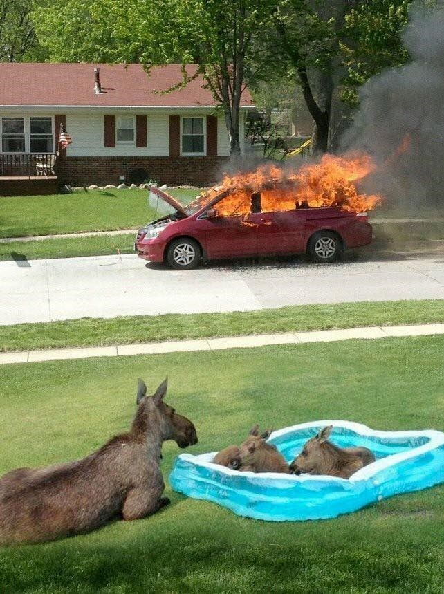 Car burning in a suburban setting as a family of kangaroos relaxes in a small inflatable pool.