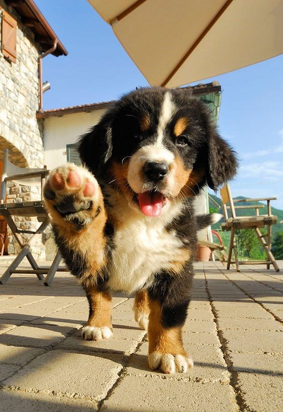 Puppy dog offering you his paw.