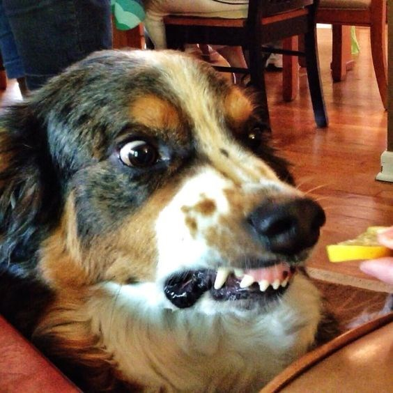 Dog showing a face of fear in reaction to a wedge of lemon