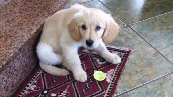Puppy dog giving eyes of betrayal as he just was fooled into tasting a lemon.
