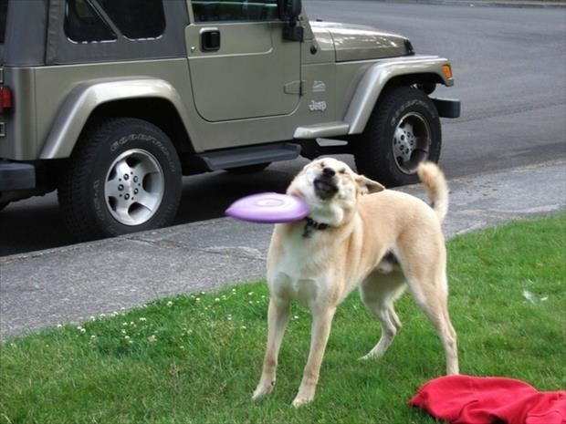Dog trying to catch a Frisbee that instead smacks him in the neck.