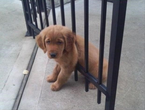 Cute puppy that got stuck in the bars of a gate.