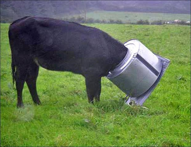 funny picture of a cow with something large stuck around his head.