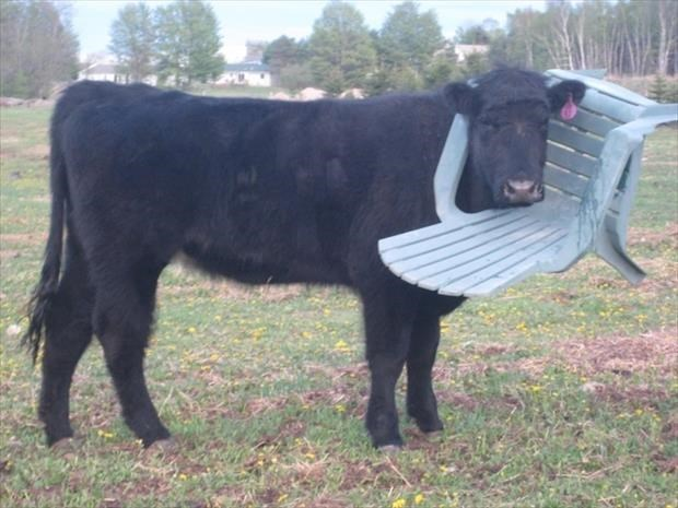 Cow with a plastic lawn chair stuck on his head.